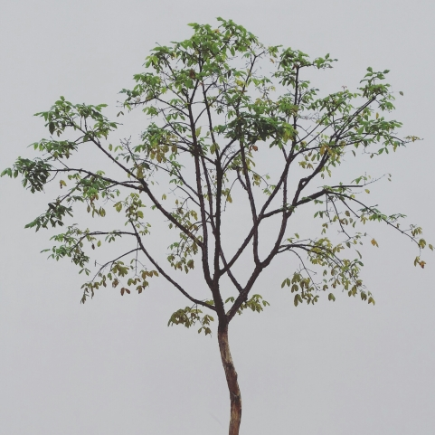tree in songdo